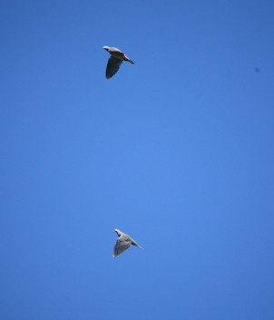 Argentina Eared Doves are in the millions – and counting - in Cordoba Province
