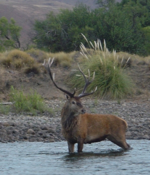 Red Stag Junin - Big Game