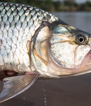 Tiger Fish