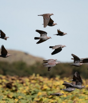 Rock pigeon shooting in South Africa
