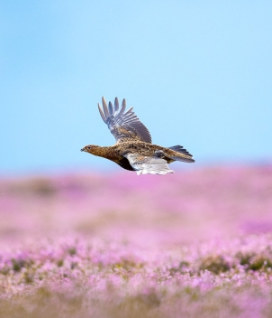 Grouse Shooting (mid-Aug - mid-Dec)